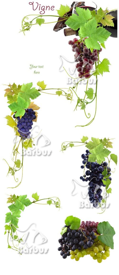 Grapevine and grapes / Виноградная лоза и виноградные гроздья