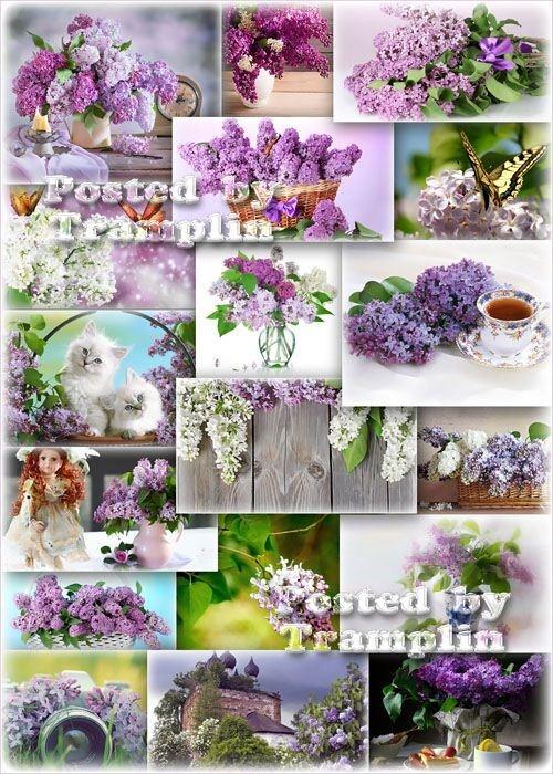 Сирень - Большие и пышные гроздья-цветы, густые и влажные кисти