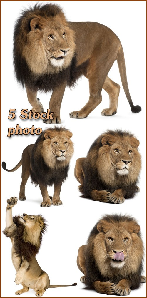 Лев, царь зверей, хищник - растровый клипарт