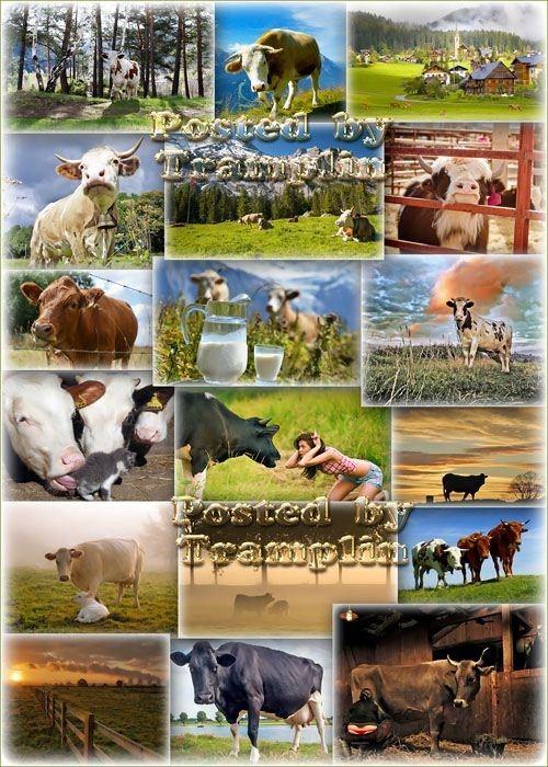Фото клипарт – Коровы