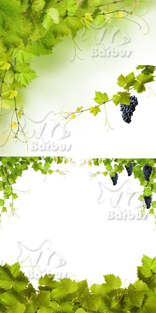 Grapevine and grapes 2 / Виноградная лоза и виноград 2
