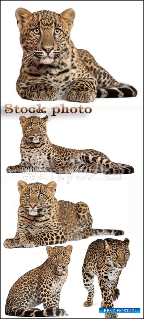 Леопард, хищник / Leopards, predatory cats - Raster clipart