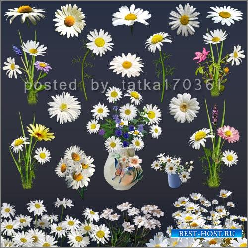 Клипарт для фотошопа - Ромашки белые полевые и садовые