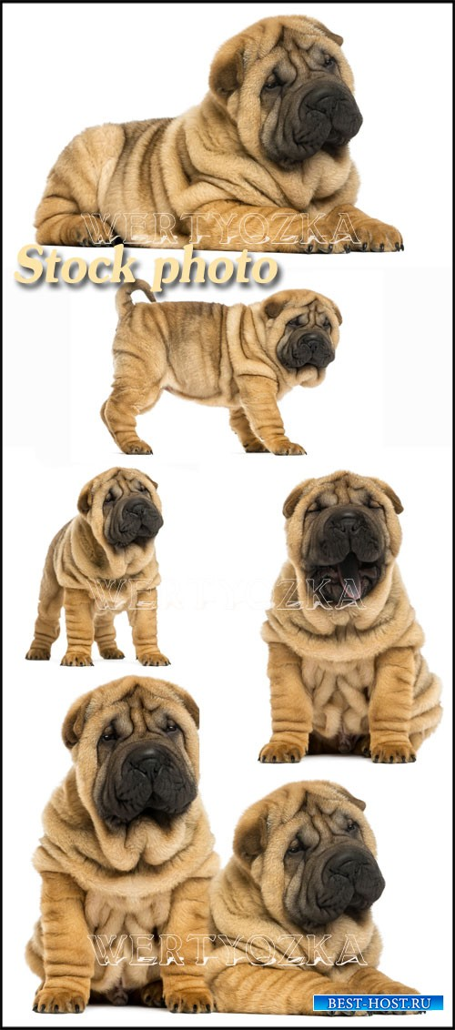 Шар-пей, порода собак / Shar pei, dog breed