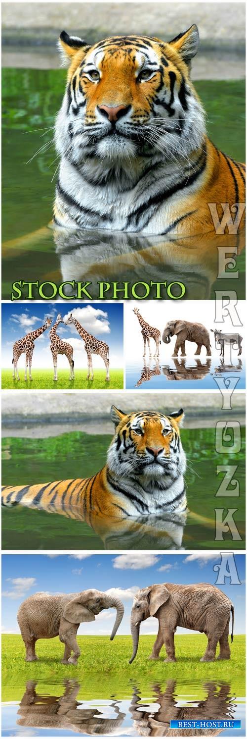 Тигр, слон, жираф, животные / Tiger, elephant, giraffe, animals - Raster cl ...