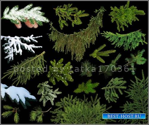 Клипарт для фотошопа - Веточки еловые для создания зимних работ
