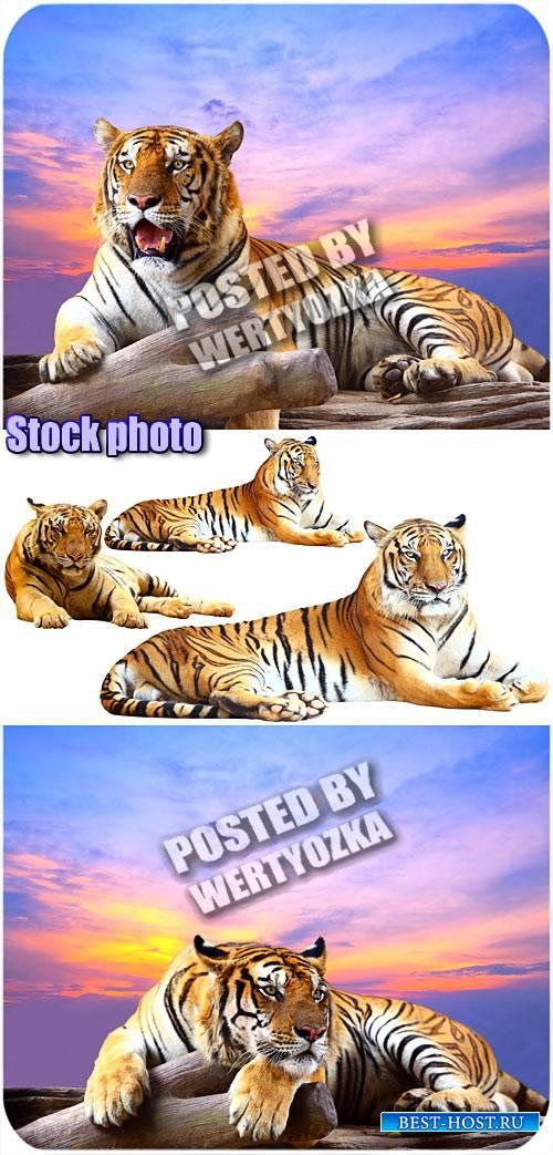 Тигр, хищник - сток фото
