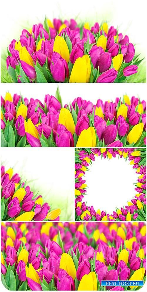 Тюльпаны, весенние цветы - сток фото