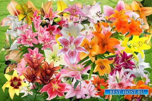 Клипарт Лилия - цветок французских королей