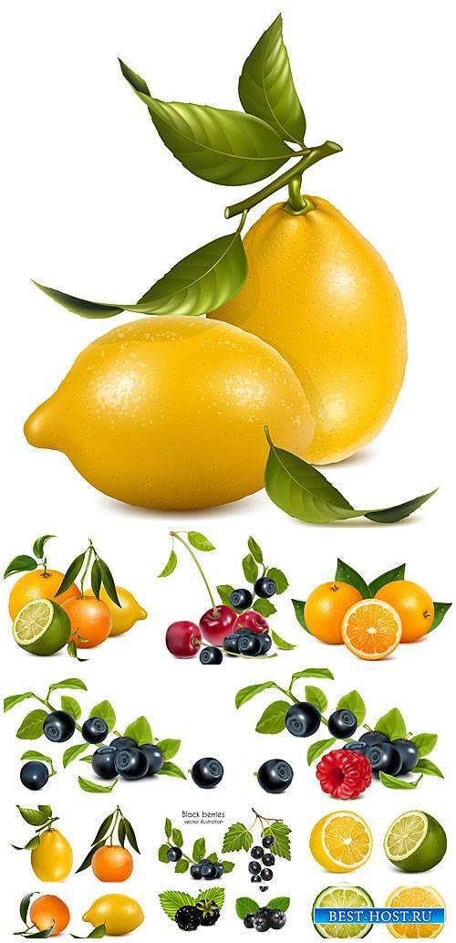 Цитрусовые в векторе, черника, вишня и малина / Vector citrus, blueberries, ...