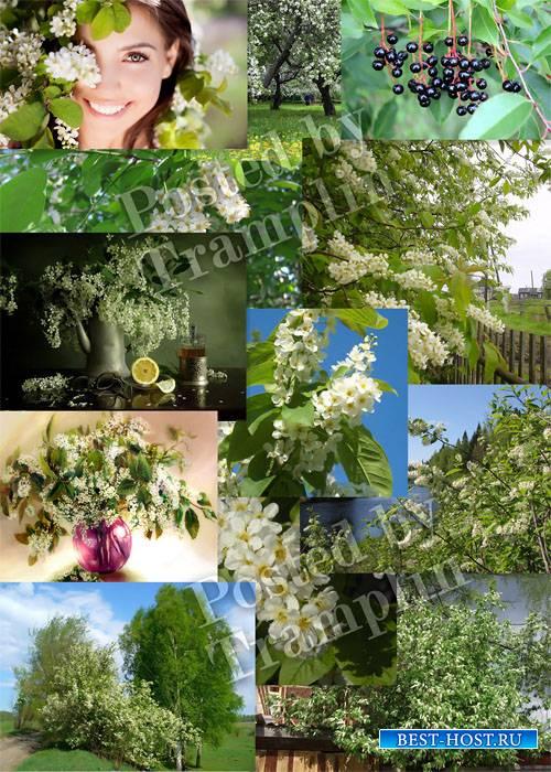 Черемуха цветет – Растровый клипарт