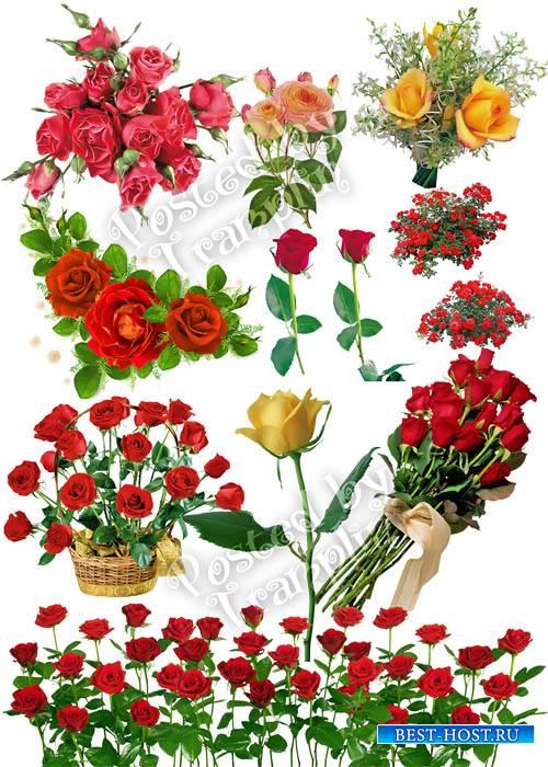 Розы на прозрачном фоне - Roses on a transparent background