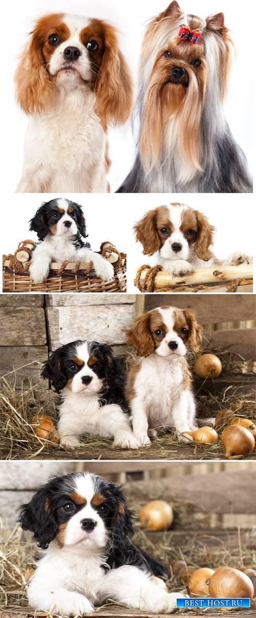 Маленькие породистые щенки / Small purebred puppies - Stock photo