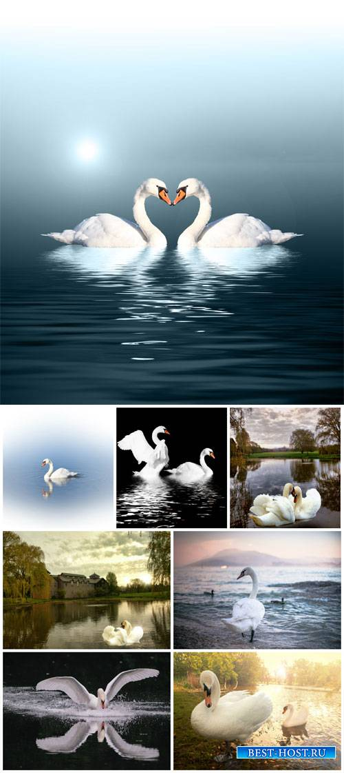 Swans, nature - stock photos