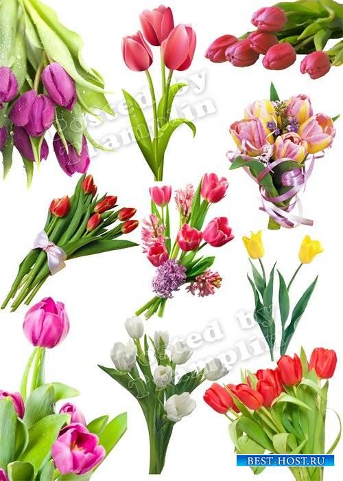 Тюльпаны на 8 марта – Клипарт на прозрачном фоне set 2