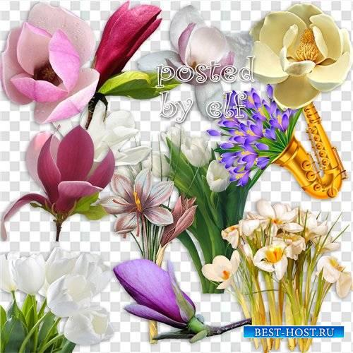 Магнолия, крокусы, тюльпаны на прозрачном фоне