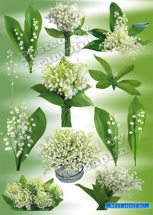 Ландыши – Клипарт - Белые цветочки-крошки и дугою стебелек