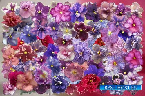 Клипарт Цветочки фиалок узамбарских
