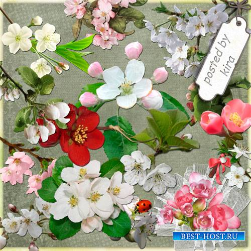 Клипарт в png - Цветы яблони, вишни, сакуры