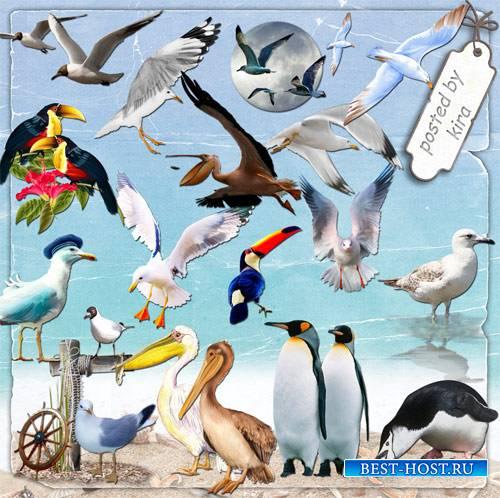 Морской клипарт - Чайки, пеликаны, туканы,  пингвины и другие морские птицы