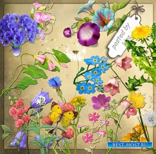 Васильки, одуванчики и другие полевые цветы - Клипарты на прозрачном фоне