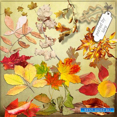 Клипарт в png - Кленовые, дубовые и другие осенние листья