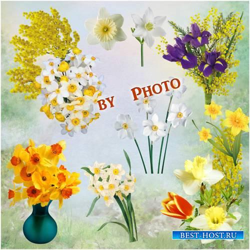 Цветочный клипарт на прозрачном фоне - Нарциссы и мимоза