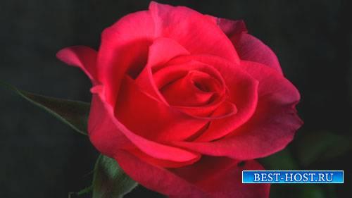 Футажи эффекты - Роза как живая