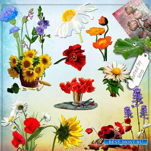 Клипарт - Полевые цветы, часть 3