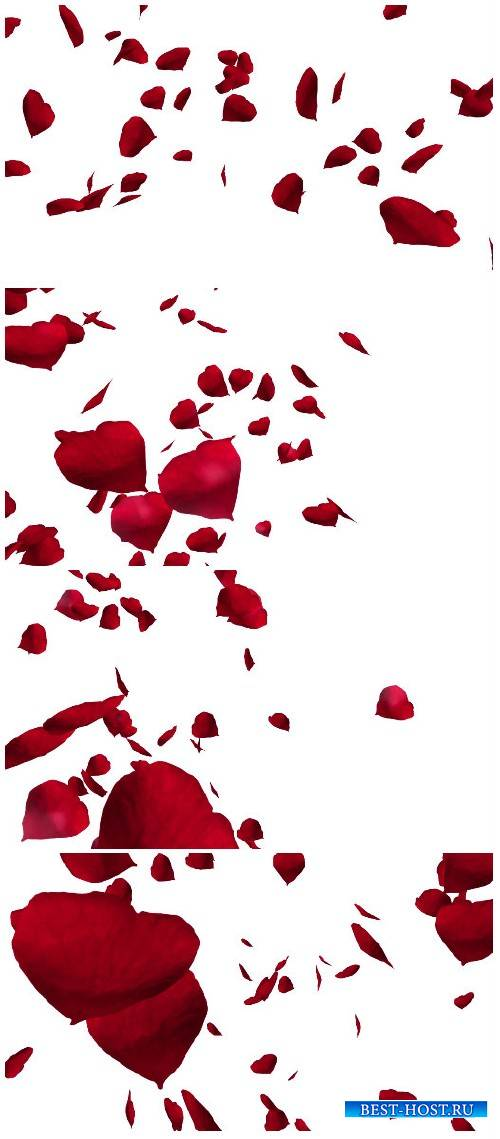 Video footage red rose petals over white background
