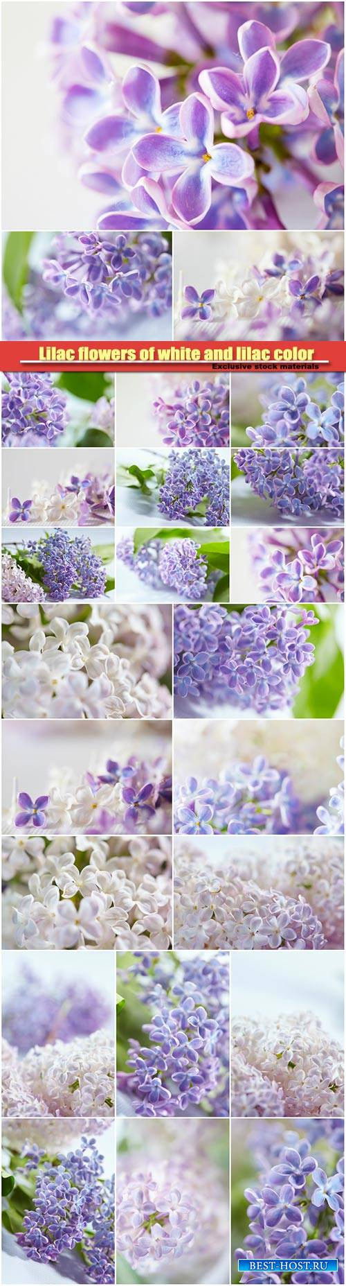 Lilac flowers of white and lilac color