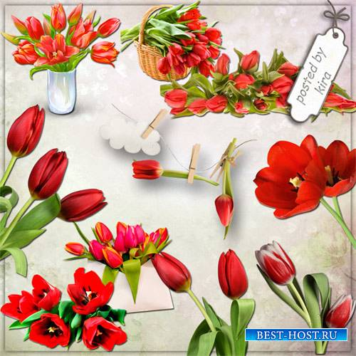 Клипарт - Красные тюльпаны на прозрачном фоне