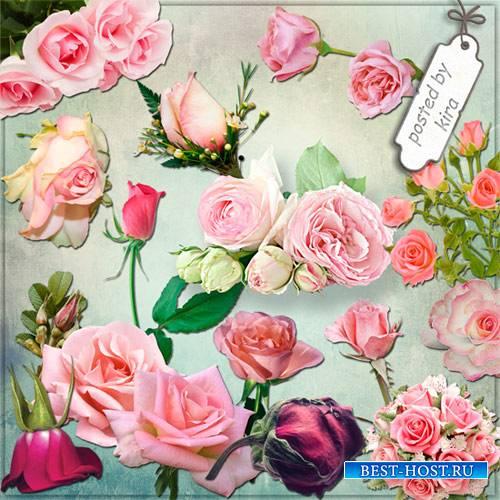 Клипарт - Розовые розы в png