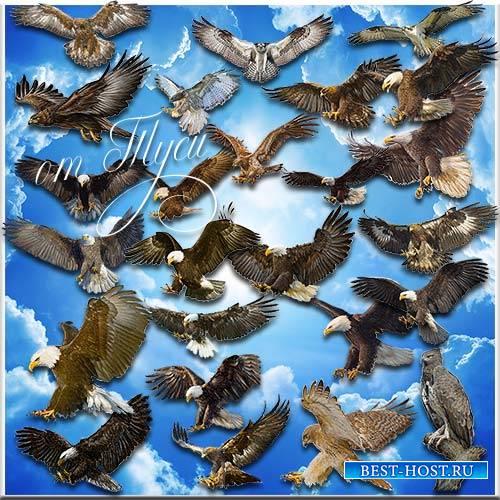 Клипарт - Хищные птицы