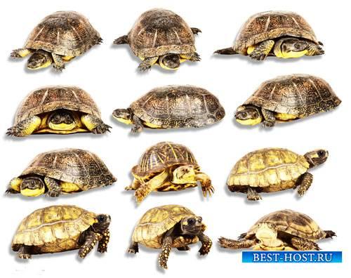 Png для фотошоп - Морские и сухопутные черепахи