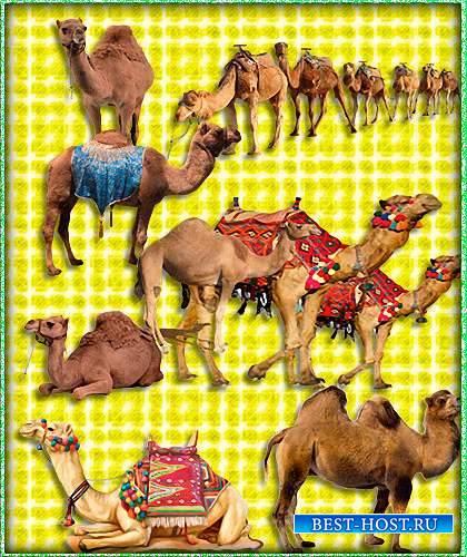 Картинки png - Верблюды (Camel)