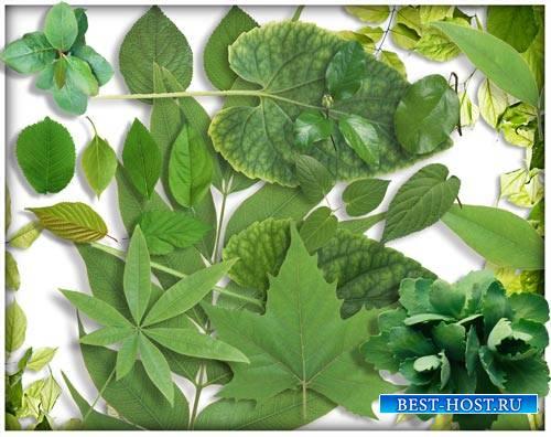 Png для фотошоп - Зеленые листья
