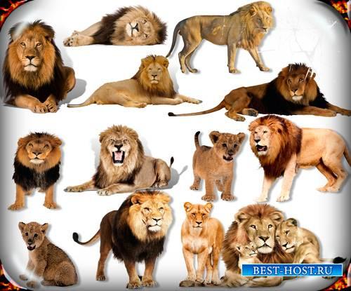 Картинки на прозрачном фоне - Львы и львицы