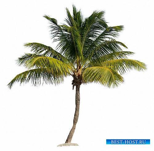 Клипарты Png - Зеленые пальмы