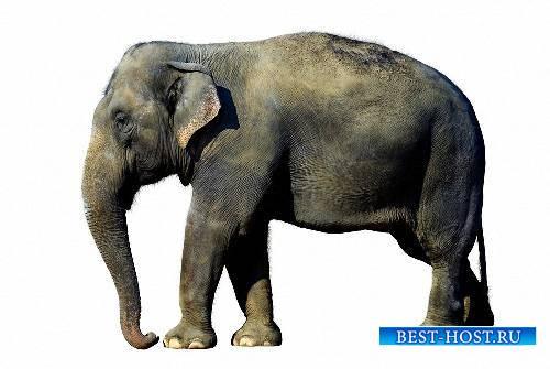 Качественные клипарты на прозрачном фоне - Слоны и мамонты