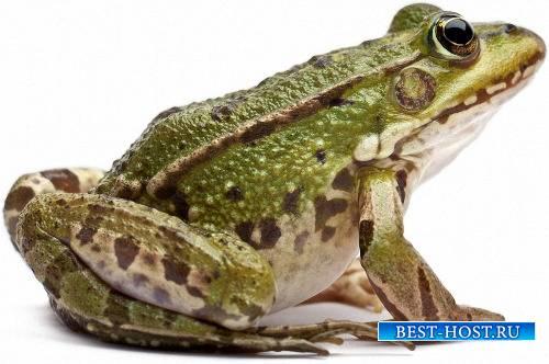 Png для Photoshop - Прикольные лягушки
