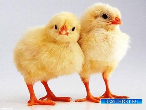 Необходимый набор png на прозрачном фоне - Желтые цыплята