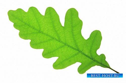 Png для фотошоп - Дубовые листья