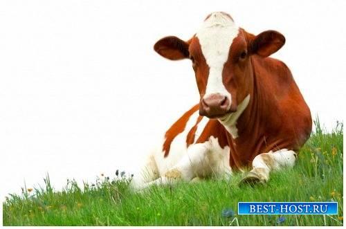 Клипарты Png на прозрачном фоне - Домашние коровы