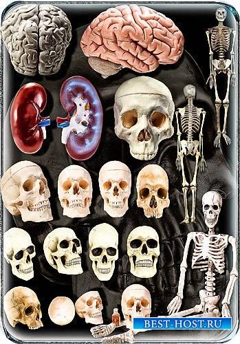 Png картинки - Анатомия человека