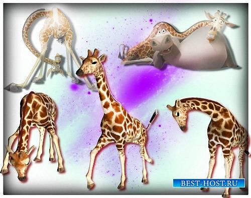 Png картинки - Смешные жирафы