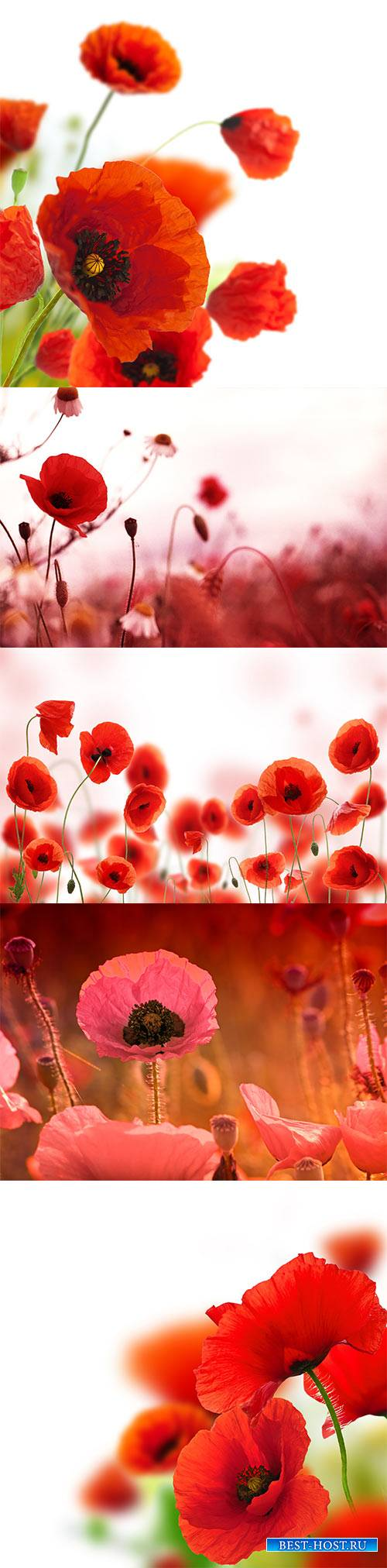 Poppies white background, green and red floral design