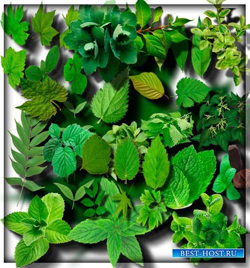Качественные клип-арты - Зеленые листья