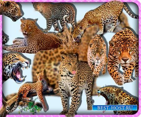 Прозрачные клипарты для фотошопа - Ягуары