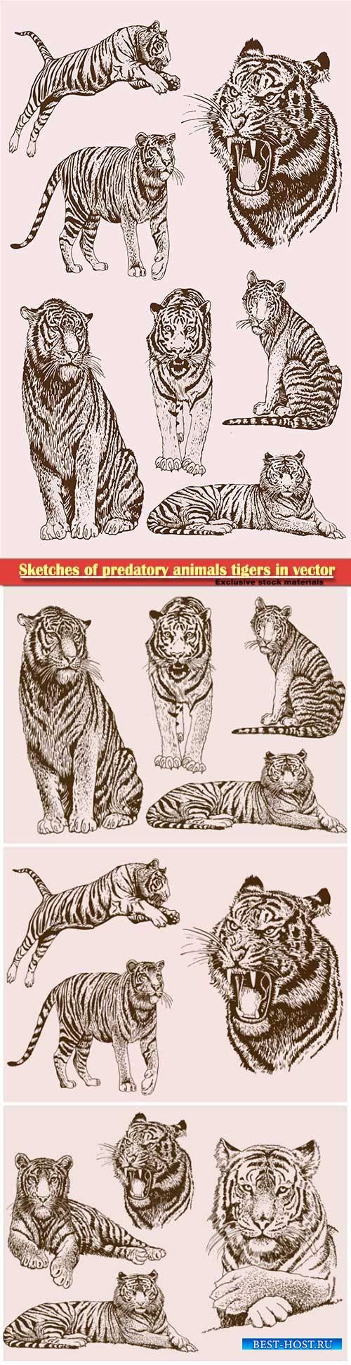 Sketches of predatory animals tigers in vector